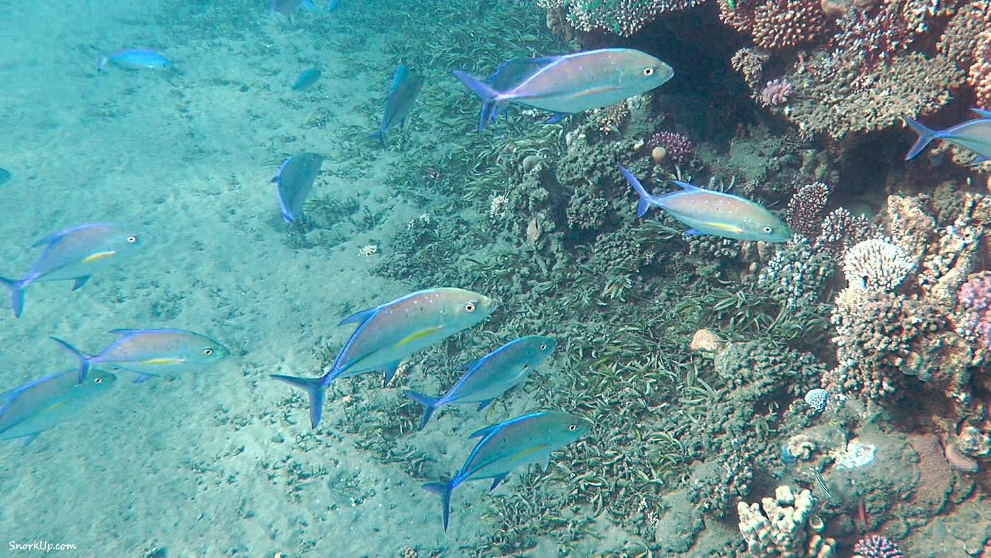 Синеперые каранксы (лат.Caranx melampygus, анг.Bluefin trevally)